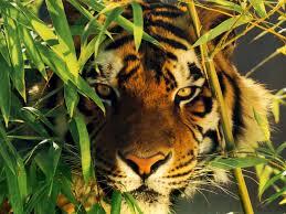 tigre vera